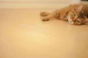 フローリングに寝転がる猫